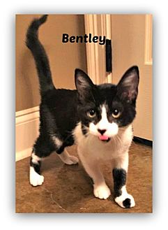 Domestic Shorthair Kitten for adoption in Baton Rouge, Louisiana - Bentley