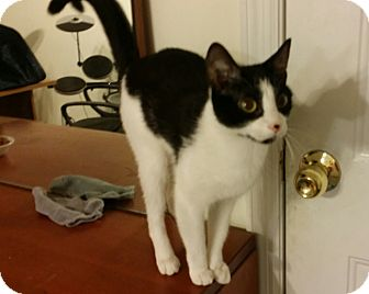 Domestic Shorthair Cat for adoption in Clarksville, Tennessee - Cookie - URGENT!!!