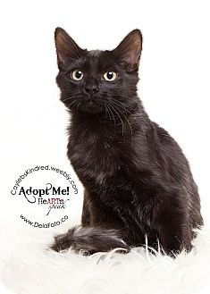 Domestic Shorthair Kitten for adoption in Denver, Colorado - Maybelline