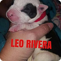 Adopt A Pet :: Leo Rivera - New York, NY