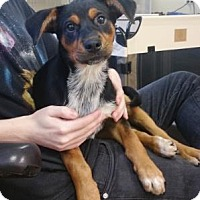 Australian Cattle Dog Mix Puppy for adoption in Chicago, Illinois - Naruto