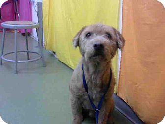 Terrier (Unknown Type, Medium) Mix Dog for adoption in San Bernardino, California - URGENT on 10/20 @ DEVORE