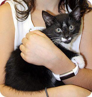 Domestic Mediumhair Kitten for adoption in Harrison, New York - Sebastian