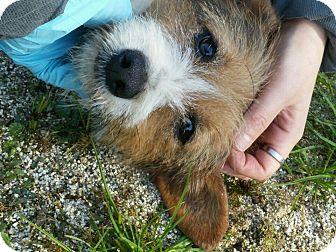 Welsh Terrier Mix Dog for adoption in Oakton, Virginia - Nana