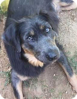 Border Collie/Rottweiler Mix Dog for adoption in East Dover, Vermont - Isabel - PENDING