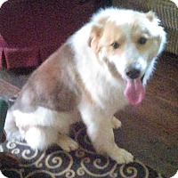Collie Mix Dog for adoption in Brattleboro, Vermont - Pancake