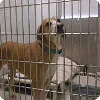 Adopt A Pet :: CINDY - Gloucester, VA