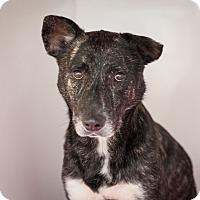 Blue Heeler Mix Dog for adoption in Dallas, Texas - Wade