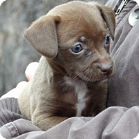 Adopt A Pet :: Noel (3 lb) - West Sand Lake, NY