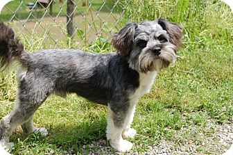 Schnauzer (Miniature)/Shih Tzu Mix Dog for adoption in Hazard, Kentucky - Coby