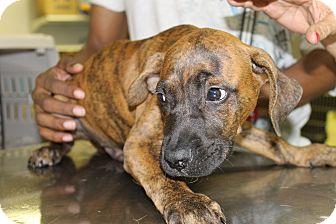 Plott Hound Mix Puppy for adoption in Waldorf, Maryland - Dez