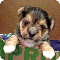 Adopt A Pet :: Bogey - Yakima, WA
