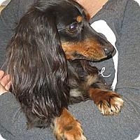 Adopt A Pet :: Honey Bun - Salem, NH