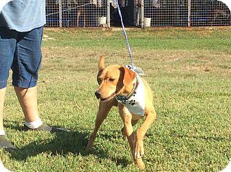 Labrador Retriever Mix Dog for adoption in Albany, New York - Jax