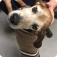 Beagle Mix Dog for adoption in Hayes, Virginia - Bones