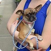 Adopt A Pet :: Auntie Cranberry - Shawnee Mission, KS