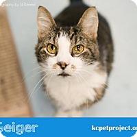 Domestic Shorthair Cat for adoption in Kansas City, Missouri - Geiger*