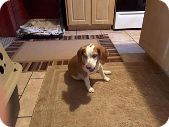 Beagle Dog for adoption in New York, New York - Duke