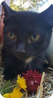 Domestic Shorthair Kitten for adoption in Oakland, Michigan - Frangelico