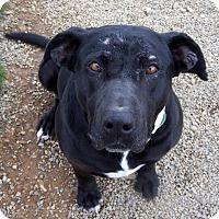 Adopt A Pet :: Star - Yreka, CA