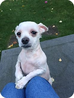 Maltese/Poodle (Miniature) Mix Dog for adoption in N. Babylon, New York - Fizzle