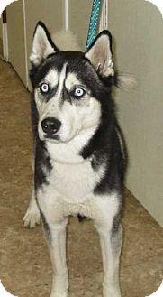 Siberian Husky Mix Dog for adoption in Clear Lake, Iowa - Luke