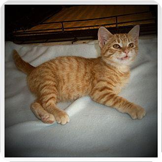 Domestic Shorthair Kitten for adoption in Medford, Wisconsin - MILTON