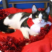 Adopt A Pet :: Baron von Mistletoe - Glendale, AZ
