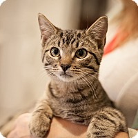 Adopt A Pet :: Sir Cattington - Dallas, TX