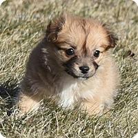 Adopt A Pet :: Nicolai - Mechanicsburg, PA
