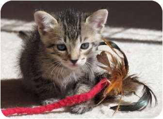 Domestic Shorthair Kitten for adoption in La Jolla, California - Bacardi