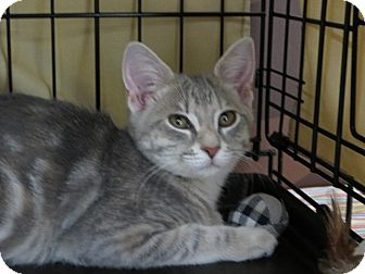 Domestic Shorthair Kitten for adoption in Frederick, Maryland - Lady Gaga
