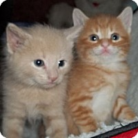 Adopt A Pet :: Orange & Buff - Acme, PA