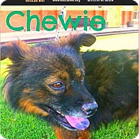 Adopt A Pet :: Chewie - Scottsdale, AZ