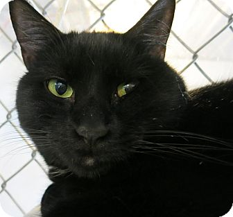 Domestic Shorthair Cat for adoption in Geneseo, Illinois - Galen