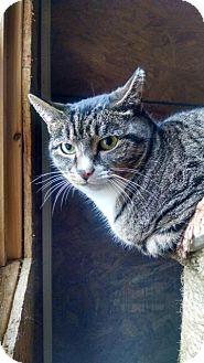 Domestic Shorthair Cat for adoption in Acushnet, Massachusetts - Kayleigh - courtesy post