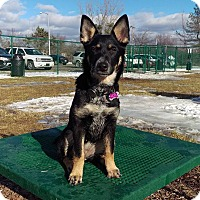 Adopt A Pet :: Leia - Elkhart, IN