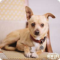 Adopt A Pet :: Chi Chi Charlie - Portland, OR