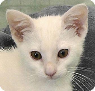 Domestic Shorthair Cat for adoption in Redondo Beach, California - Ivory
