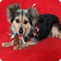 Adopt A Pet :: Corgi Pap Mix Fl - Lomita, CA