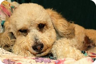 Poodle (Miniature) Dog for adoption in sylmar, California - Bindi