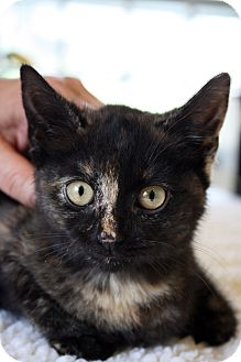 Domestic Shorthair Kitten for adoption in Morristown, New Jersey - Trixie