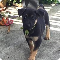 Adopt A Pet :: Sara pup Sandie -16 (adoption pending) - Lithia, FL