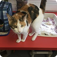 Domestic Shorthair Cat for adoption in Bloomingdale, New Jersey - Mya