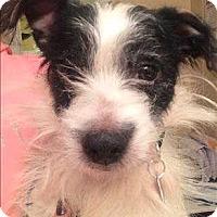Adopt A Pet :: Vader - Encino, CA