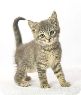 Domestic Shorthair Kitten for adoption in Oxford, Mississippi - Cosmo