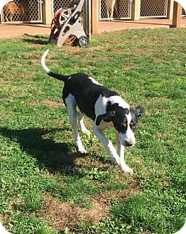 Hound (Unknown Type) Mix Dog for adoption in Harrisville, West Virginia - Jessie