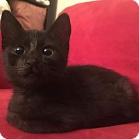 Domestic Shorthair Kitten for adoption in San Jose, California - Booger