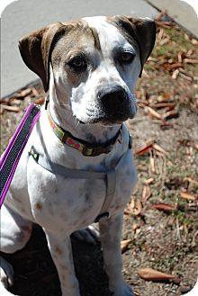 Boxer/Hound (Unknown Type) Mix Puppy for adoption in Richmond, Virginia - Lola
