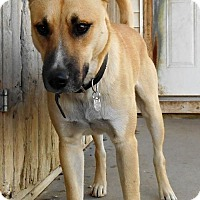 Shepherd (Unknown Type)/Labrador Retriever Mix Dog for adoption in Oskaloosa, Iowa - Denali